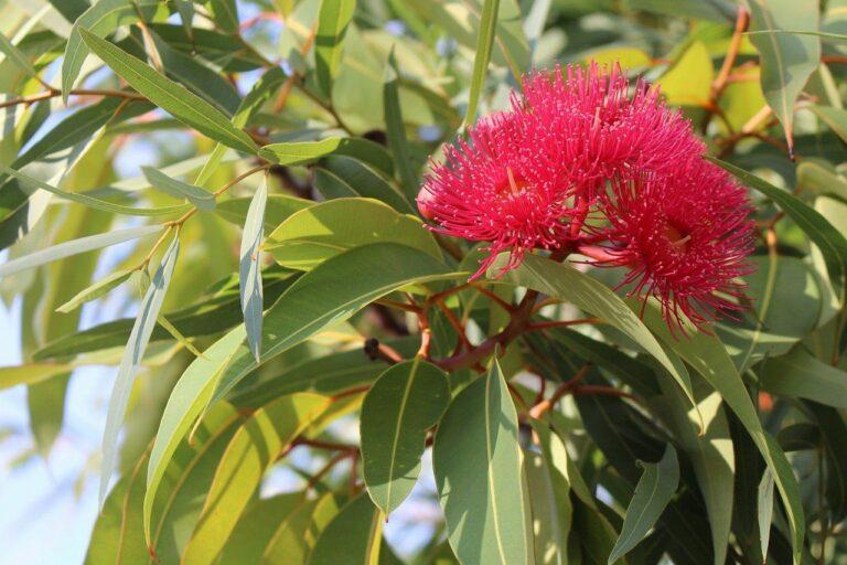 Eukalyptus zur Gewinnung von Eukalyptusöl