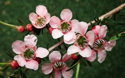 Teebaumöl – Verwendung in der Aromatherapie