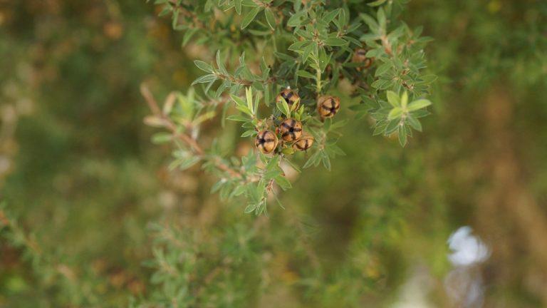Teebaum Leptospermum Scoparium